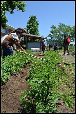 Potato plants and weeding