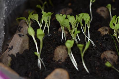 Week 3 Lettuce