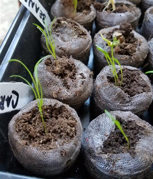 Week 4 Carrots